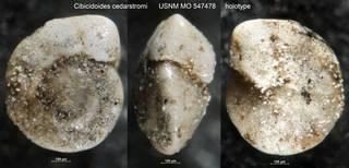To NMNH Paleobiology Collection (Cibicidoides cedarstromi USNM MO 547478 holotype)