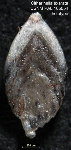 To NMNH Paleobiology Collection (Citharinella exarata USNM PAL 105054 holotype)