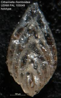 To NMNH Paleobiology Collection (Citharinella rhomboidea USNM PAL 105049 holotype)