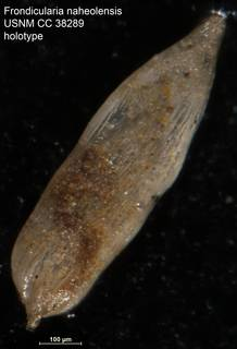 To NMNH Paleobiology Collection (Frondicularia naheolensis USNM CC 38289 holotype)