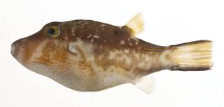 To NMNH Extant Collection (Canthigaster rostrata USNM 413112 lateral view)