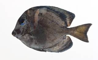 To NMNH Extant Collection (Acanthurus coeruleus USNM 413140 lateral view)