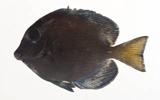 To NMNH Extant Collection (Acanthurus coeruleus USNM 413141 lateral view)