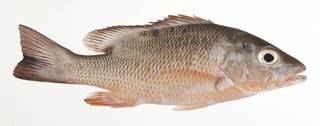 To NMNH Extant Collection (Lutjanus griseus USNM 413213 lateral view)