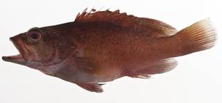 To NMNH Extant Collection (Cephalopholis fulva USNM 413185 lateral view)