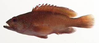 To NMNH Extant Collection (Cephalopholis fulva USNM 413186 lateral view)