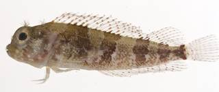 To NMNH Extant Collection (Labrisomus haitiensis USNM 412940 lateral view)