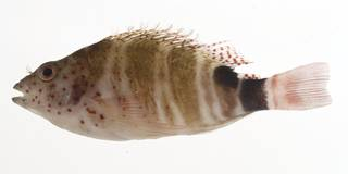 To NMNH Extant Collection (Amblycirrhitus pinos USNM 414114 lateral view)