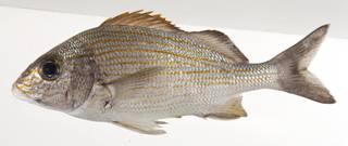 To NMNH Extant Collection (Haemulon carbonarium USNM 414186 lateral view)