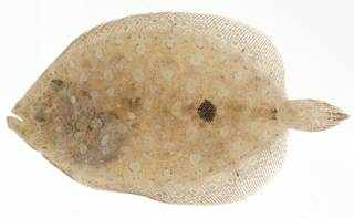 To NMNH Extant Collection (Bothus lunatus USNM 414135 eyed side view)