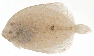 To NMNH Extant Collection (Bothus lunatus USNM 414136 eyed side view)
