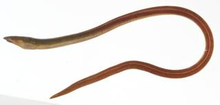 To NMNH Extant Collection (Aprognathodon platyventris USNM 414147 lateral view)