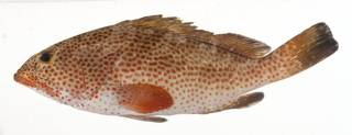 To NMNH Extant Collection (Epinephelus guttatus USNM 413215 lateral view)
