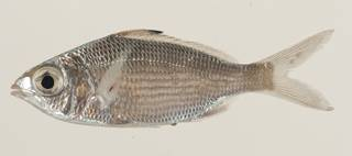 To NMNH Extant Collection (Eucinostomus havana USNM 414170 lateral view)