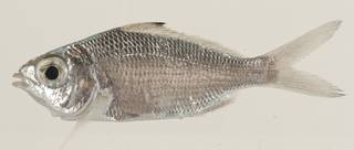 To NMNH Extant Collection (Eucinostomus havana USNM 414171 lateral view)