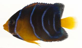 To NMNH Extant Collection (Holacanthus ciliaris USNM 414182 lateral view)