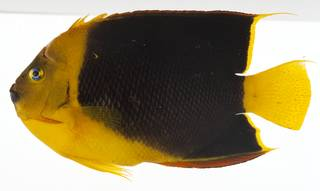 To NMNH Extant Collection (Holacanthus tricolor USNM 414194 lateral view)