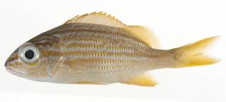 To NMNH Extant Collection (Haemulon flavolineatum USNM 414222 lateral view)