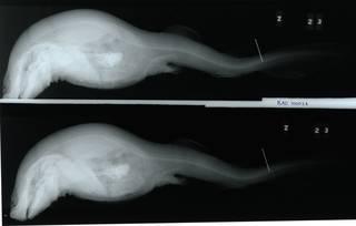 To NMNH Extant Collection (Cephaloscyllium ventriosum RAD100026-001)
