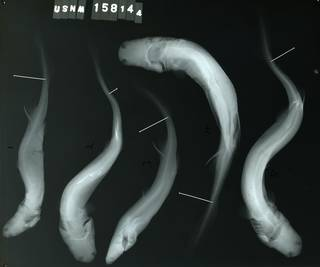 To NMNH Extant Collection (Etmopterus schultzi RAD100034-001)