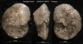To NMNH Paleobiology Collection (Cibicides howei USNM CC 42672 holotype)