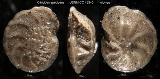 To NMNH Paleobiology Collection (Cibicides speciosus USNM CC 45540 holotype)