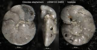 To NMNH Paleobiology Collection (Cibicides stephensoni USNM CC 24653 holotype)