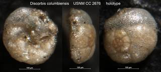 To NMNH Paleobiology Collection (Discorbis columbiensis USNM CC 2676 holotype)