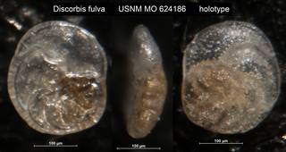 To NMNH Paleobiology Collection (Discorbis fulva USNM MO 624186 holotype)