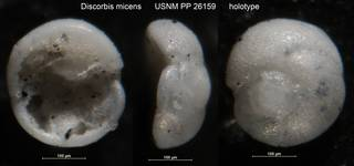 To NMNH Paleobiology Collection (Discorbis micens USNM PP 26159 holotype)