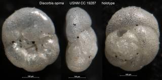 To NMNH Paleobiology Collection (Discorbis opima USNM CC 19287 holotype)