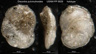 To NMNH Paleobiology Collection (Discorbis pulvinulinoides USNM PP 9029 holotype)