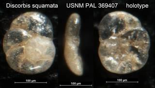 To NMNH Paleobiology Collection (Discorbis squamata USNM PAL 369407 holotype)