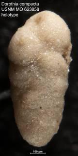 To NMNH Paleobiology Collection (Dorothia compacta USNM MO 623858 holotype)