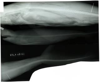 To NMNH Extant Collection (Nasolamia velox RAD100234-001)