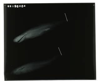 To NMNH Extant Collection (Carcharhinus perezii RAD100256-001)