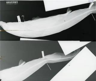 To NMNH Extant Collection (Carcharhinus longimanus RAD100158-001)