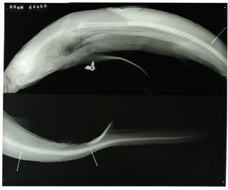 To NMNH Extant Collection (Eulamia platyrhynchus RAD100181-001)
