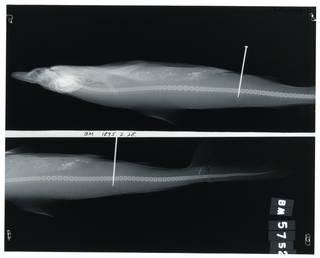 To NMNH Extant Collection (Carcharhinus borneensis RAD100208-001)