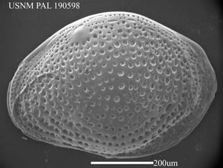 To NMNH Paleobiology Collection (Loxoconcha impressa USNM PAL 190598)