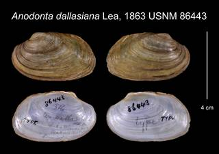 To NMNH Extant Collection (Anodonta dallasiana Lea, 1863 USNM 86443)