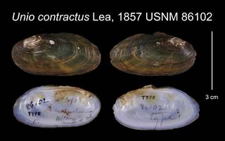 To NMNH Extant Collection (Unio contractus Lea, 1857    USNM 86102)
