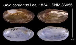 To NMNH Extant Collection (Unio corrianus Lea, 1834 USNM 86056)
