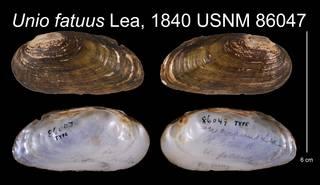 To NMNH Extant Collection (Unio fatuus Lea, 1840    USNM 86047)