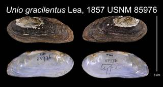 To NMNH Extant Collection (Unio gracilentus Lea, 1857    USNM 85976)