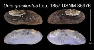 To NMNH Extant Collection (Unio gracilentus Lea, 1857    USNM 85976)
