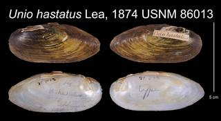 To NMNH Extant Collection (Unio hastatus Lea, 1874    USNM 86013)