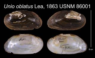 To NMNH Extant Collection (Unio oblatus Lea, 1863    USNM 86001)