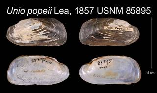 To NMNH Extant Collection (Unio popeii Lea, 1857    USNM 85895)
