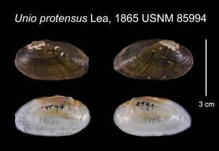 To NMNH Extant Collection (Unio protensus Lea, 1865    USNM 85994)